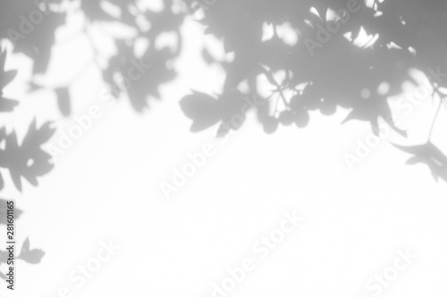 Fototapety, obrazy: Gray shadow of the hawthorn tree leaves on a white wall. Abstract neutral nature concept blurred background. Space for text.