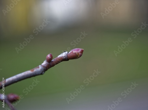 Cadres-photo bureau Bosquet de bouleaux unopened Bud on a birch branch, Russia.