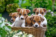 Fünf Jack Russell Welpen Sitzen  In Einem Korb Im Garten Voller Blumen