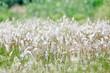 Gräser mit weißen Ähren im Gegenlicht - Grasses with white ears of corn