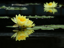 Yellow Lotus Blooming On Water In The Pond