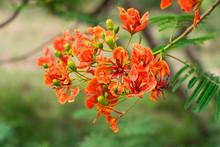 Blossom Royal Poinciana Or Flamboyant (Delonix Regia) Flowers
