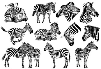 FototapetaGraphical collection of zebras, white background, vector tattoo illustration,eps10