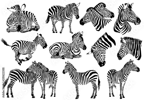 Graphical collection of zebras, white background, vector tattoo illustration,eps10 - 281622388