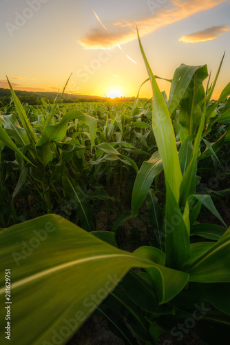 Billede på lærred Young green corn growing on the field at sunset time.