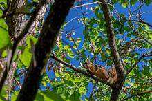 A Red Squirrel In A Redbud Tree Below A Bright Blue Sky In Southwest Missouri. Bokeh Effect.