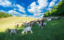 Livestock Grazing On A Summer Meadow In Hungary. Sheep, Goat And Lamb On The Pastures Near Pannonhalma, Sokoro Hills.