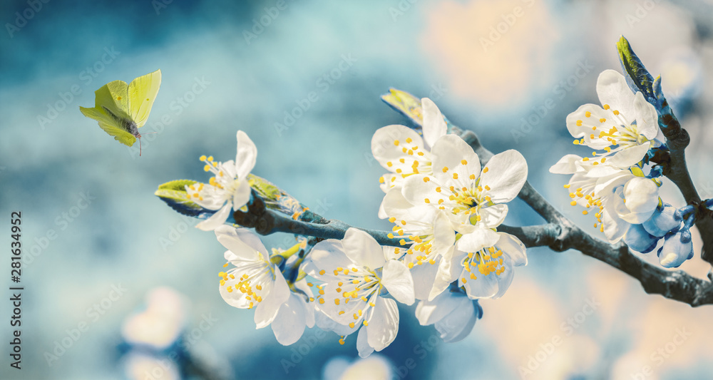 Fototapety, obrazy: Beautiful blossoming cherry tree, flying butterfly on retro blue background in sunlight, shallow depth. Vintage toned. Greeting card template. Nature springtime sakura flower panorama.