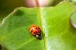 Leinwanddruck Bild - Multicoloured Asian Ladybird - Ladybug Harmonia axyridis walks on a leaf