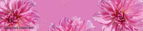 Poster de jardin Dahlia Panorama with dahlia on a pink background