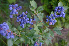 Blueberries On A Bush On Ripen...