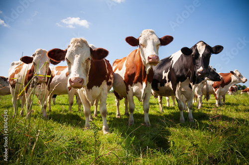 Herd of cows in the pasture Fotobehang