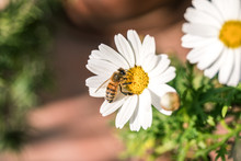 Bee On The Flower, Daisy