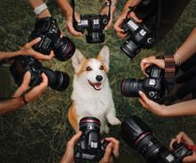 Welsh Corgi Pembroke Dog Posing For Cameras