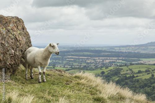 Sheep in Shropshire UK Wallpaper Mural