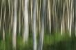 Wald - Birken - abstrakt
