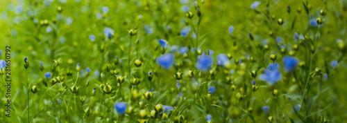 Obraz Len pospolity, linum. len, pospolity, Linaceae, Linum, flax,  - fototapety do salonu