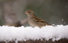 Sparrow, Little Bird That Can Be Found Around The World. Brown, Small And Friendly.
