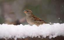 Sparrow, Little Bird That Can ...