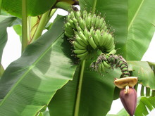 Primitivo (Banana)