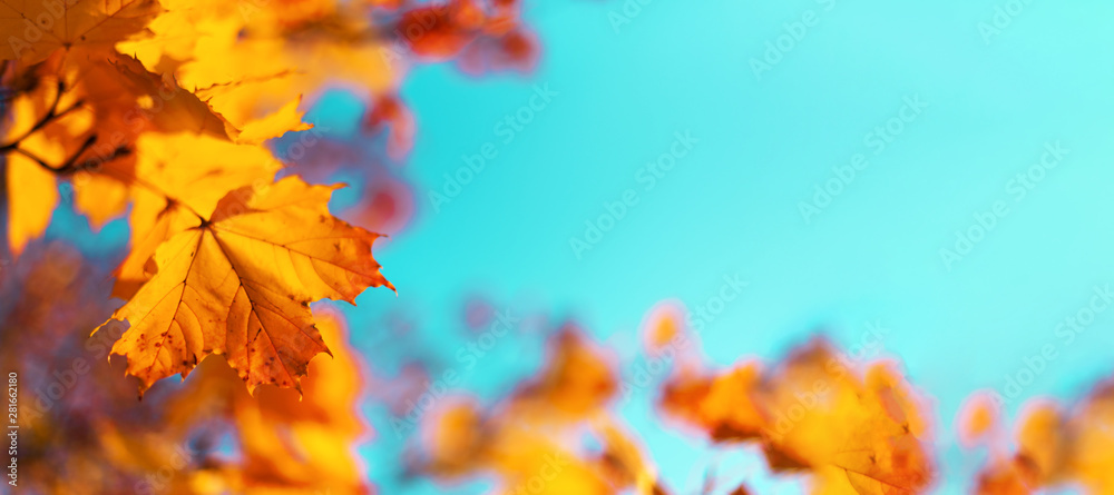 Fototapety, obrazy: Autumn yellow leaves on blue sky background. Golden autumn concept. Sunny day, warm weather.