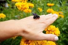Dead Violet Carpenter Bee On A...
