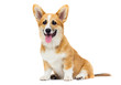 canvas print picture - red welsh corgi puppy sitting in full growth on a white backgrou