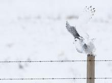 Snowy Owl In Rural Alberta