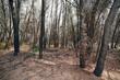 verbrante Bäume nach einem Waldbrand (Strofilia, Griechenland) - forest after a fire in Greece