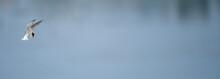 Zwergseeschwalbe (Sternula Albifrons) - Little Tern