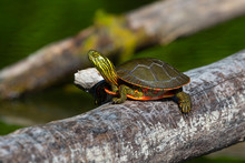 The Painted Turtle (Chrysemys Picta) Is Native Turtle Of North America