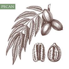 Pecan Vector Illustrations. Ha...