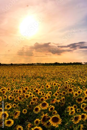 Fototapety, obrazy: Sunflower Field in the sunset