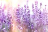 Soft focus on lavender flower, lavender flowers lit by sunlight - 281689332