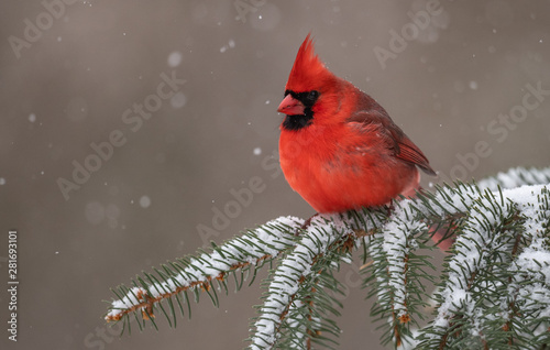 Photo  Northern Cardinal in the Snow