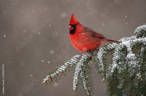 Fotografie, Tablou Northern Cardinal in the Snow