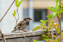 Attractive Sparrow On A Fence, Regular Inhabitant Of The City