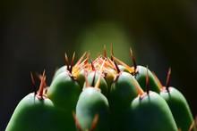 Cactus Con Espinas San Pedro