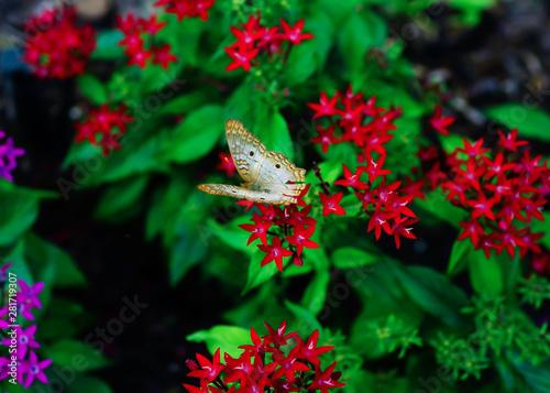 Pentas lanceolata flower and green leaf