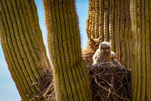 A Great Horned Owl And Her Bab...