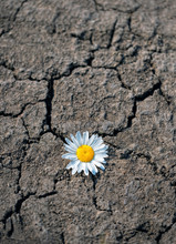 Chamomile Flower On Dry Land With Cracks. Single Daisy Breaking Through Road. Nature, Ecology, Environment Protection Concept. Drought Season. Copy Space. Soft Selective Focus