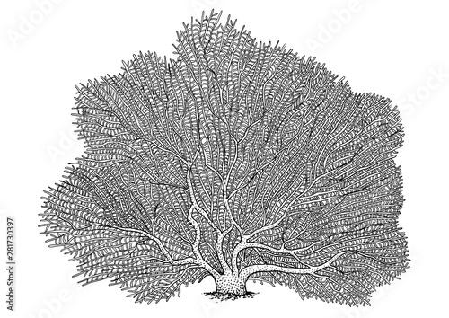 Valokuva  Fan coral illustration, drawing, engraving, ink, line art, vector