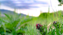 Panorama Frame Close Up Of Plants With Long Green Leaves And Clusters Of Small Red Flowers