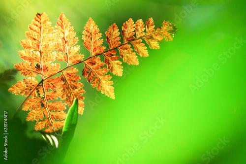 Beautiful golden fern leaf in the morning light. - 281748117