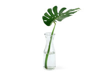 Monstera Deliciosa Leaf, The C...
