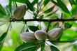 canvas print picture -  Mandelbaum (Prunus dulcis) Pflanze mit Früchte