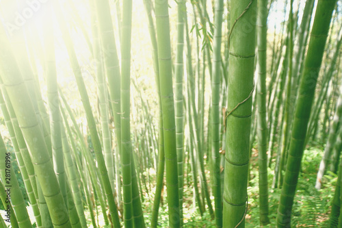 Foto op Canvas Bamboo Bamboo grove forest. Underwood view. Exotic tropical nature