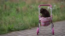 British Shorthair Cat Laying I...