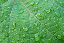 Water Drops On Vine Leaf Macro
