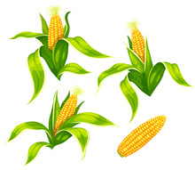 Set Of Maize Corncobs With Yellow Corns Ears And Green Leaves Set, Isolated On White Transparent Background. Ripe Corn Vegetables. Eps10 Vector Illustration.
